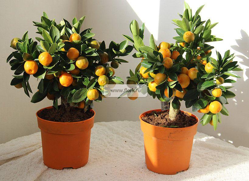 Купить мандариновое дерево